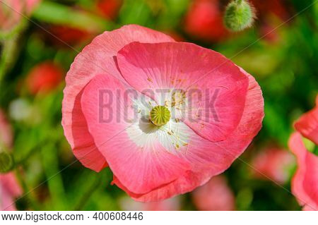 Icelandic Paper Poppy Flower In A Grassland With Shallow Depth Of Field Background.