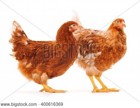 Two Brown Hens Isolated On White Background.