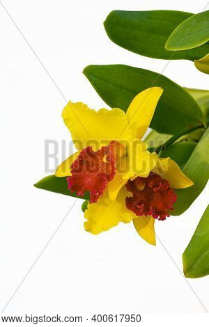 Yellow And Red Cattleya Orchids (potinara Susan Fender) Are Blooming With Green Leaves On Isolated W