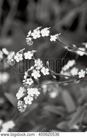 Small  Flowers Of Forget-me-not In The  Grass. Ultimate Gray, Trendy Color 2021