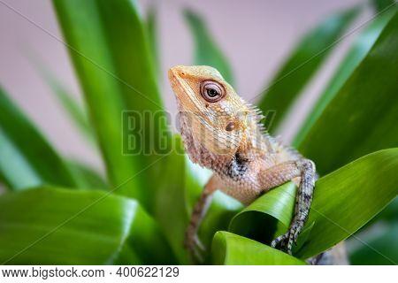 The Oriental Garden Lizard, Eastern Garden Lizard, Bloodsucker Or Changeable Lizard (calotes Versico