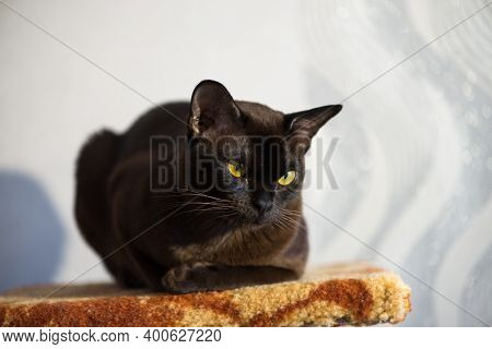 Brown Burmese Cat With Chocolate Fur Color And Yellow Eyes, Curious Looking, European Burmese. Close