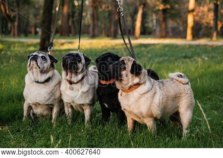 Dog Walking With Many Pugs. Professional Dog Walker Walking Dogs In Autumn Sunset Park. Walking The