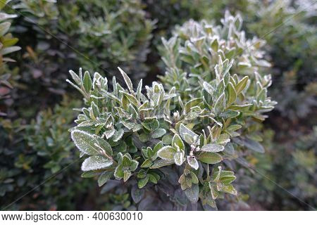 Branch Of Common Boxwood Covered With Hoar Frost In November