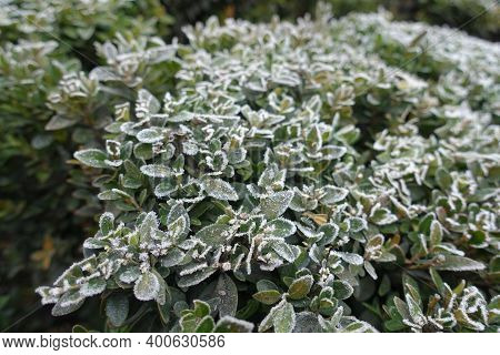 Green Foliage Of Common Boxwood Covered With Hoar Frost In November