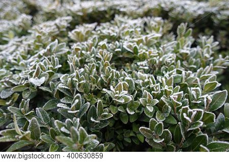 Hoar Frost On Foliage Of Common Boxwood In November