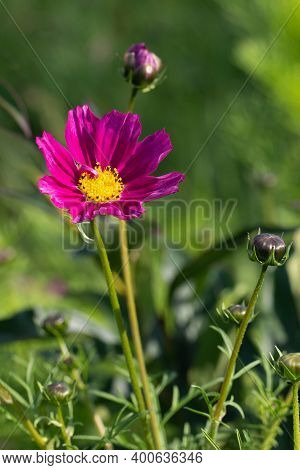 Pink Flower Of Cosmos Bipinnatus Garden On Green Garden Blur Background