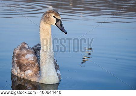 Closeup Of A Fabulous Waterfowl Swan In The Water