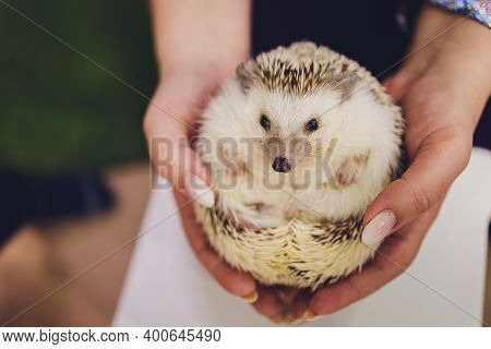 A Lovely Young African Pygmy Hedgehog Looking Camera On Owner Hand.