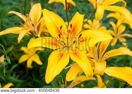 Close Up Of Yellow Lily Flower. Hemerocallis Also Called Lemon Lily, Yellow Daylily, Hemerocallis Fl