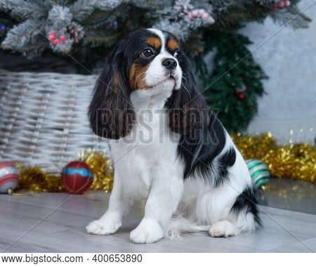 Cavalier King Charles Spaniel Sits On The Floor In Front Of The Christmas Tree After Grooming.