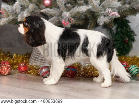 A Cavalier King Charles Spaniel Stands In Front Of A Christmas Tree After Grooming At An Animal Salo