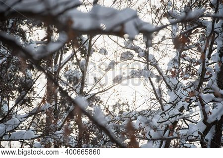 The Sun Breaks Through The Snow-covered Branches. Beautiful Winter Atmospheric Background. Frosty Mo