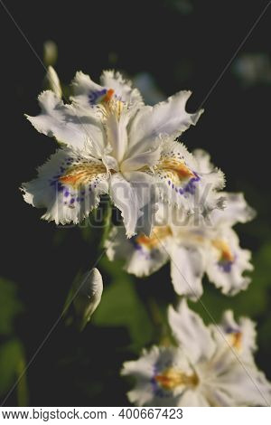 Vicenza, Italy - April 23, 2006: Flower Of The Species Iris Japonica, Family Iridaceae, In A Floricu