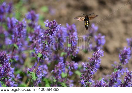 Mammoth Wasp, Lat. Megascolia Maculata, Collects Nectar From Flowers