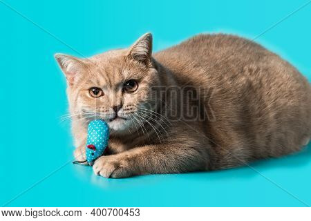 A British Shorthair Peach-colored Cat Holds A Turquoise-colored Rag Toy In Its Teeth. A Look At The