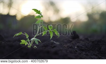 Tomato Plant. Young Tomato Plants In The Evening. Plant Tomato At Sunset.