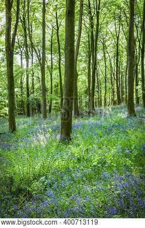 Common Bluebells, Hyacinthoides Non-scripta, In A Forest Floor In Stonor Park, Chiltern Hills, Bucki