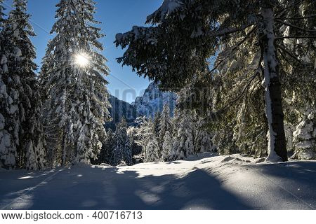 The Sun's Rays Pass Through The Snowy Branches Of The Pines In Winter