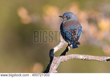 A Beautiful Blue Bird Sits On A Branch In The Morning Sun.