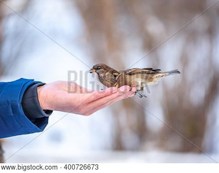 A Man Feeds Sparrows From His Hand. Sparrows Take Turns Eating Seeds From A Human Hand In Winter. Ta