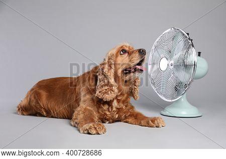 English Cocker Spaniel Enjoying Air Flow From Fan On Grey Background. Summer Heat