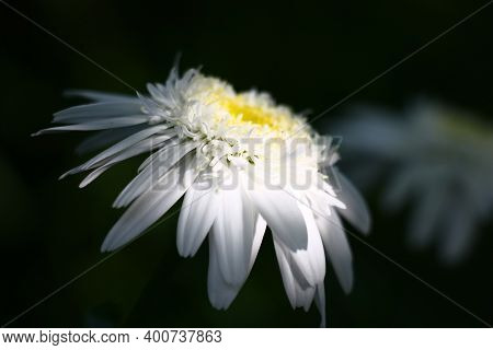 Large Fluffy Beautiful Camomile With A Considerable Quantity Of Petals Of The Different Size. The Mi