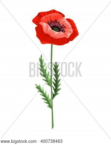 Poppy Flower. Watercolor Hand Drawn Poppy. Isolated Botanical Symbol Of Blooming Red Poppy Blossom.