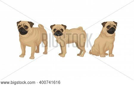 Pug With Wrinkly, Short-muzzled Face And Curled Tail Vector Set