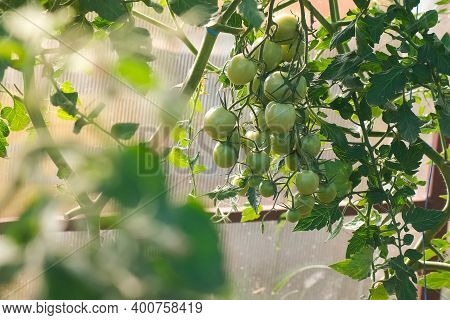 Unripe Green Tomatoes On The Branches In Greenhouse, Closeup View. Cultivation Of Agricultural Plant