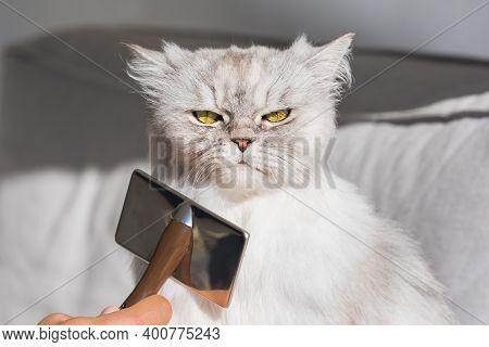 Man Combing Fluffy Grey Persian Cat. Grumpy Cat Being Brushed.