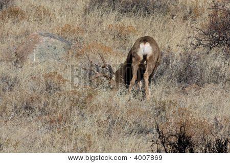 Big buck mule deer feeding in grass. poster