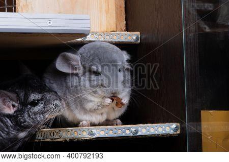 Funny little chinchilla eating some food