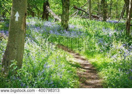 Forest Walk Through Common Bluebells, Hyacinthoides Non-scripta, In Woodland In Stonor Park, Chilter
