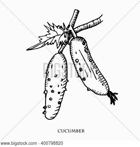 Cucumber Hand Drawn Vector Illustration.vintage Ink Hand Drawn Cucumber, Isolated On White Backgroun