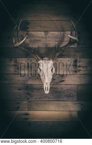 A Whitetail Deer Buck European Mount Skill On A Vintage Barn Wood Background.