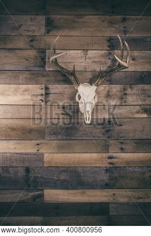 Whitetail Deer Buck Skull And Antlers On A Wooden Background.