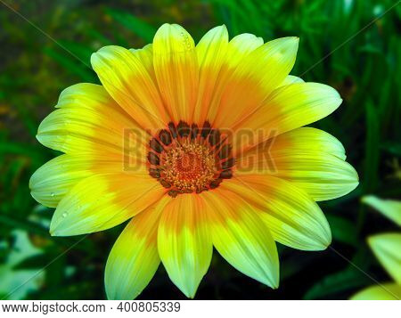 Gazania Harsh (gazania Rigens) Is A Plant Of The Astrov Family That Grows In South Africa And Mozamb