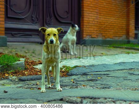 The Stray Dogs Outdoors Are Waiting For Food From The People.  Unhappy Stray Dog With Sad Eyes On A