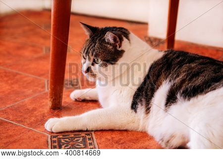 House Cat. Cute Little House Cat Relaxes And Enjoying The Comfort Of Your Room. Pet Animals. Domesti