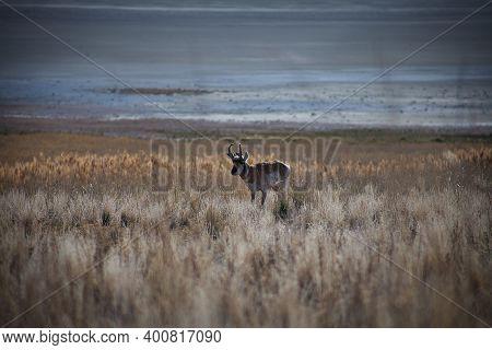 A Lone Antelope In A Prairie Field On Antelope Island, Utah.