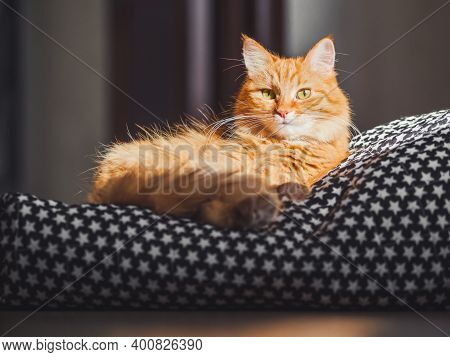 Cute Ginger Cat Lying On Black Blanket. Fluffy Pet Comfortably Settled To Sleep. Hard Sunlight On Fu