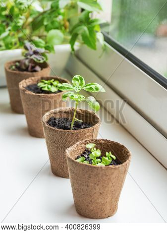 Basil Seedlings In Biodegradable Pots On Window Sill. Green Plants In Peat Pots. Baby Plants Sowing