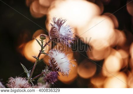 Steppe Russian Thistle Plant Silybum Marianum (milk Thistle), Autumn Natural Background With Sunset,