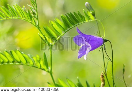 Beautiful Delicate Flower Bell On A Background Of Green Grass. Delicate Purple Flowers Of Campanula
