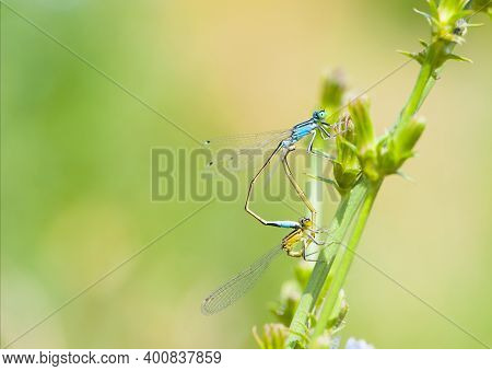 Two Dragonflies On A Green Branch With Place For Text. A Pair Of Dragonflies Mate In A Bright And Gr