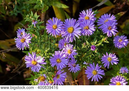 Profusely Blooming Shrubby Aster With A Large Number Of Small Blue Flowers.