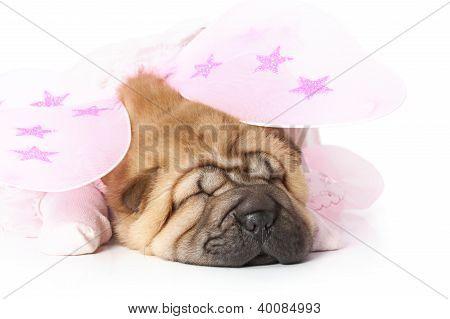 Chinese Sharpei Puppy