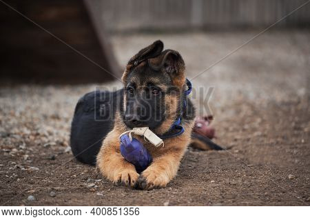 Cute Little Puppy Of Black And Red German Shepherd Dog Lies On Dog Playground Next To Toy And Nibble