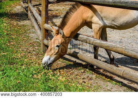 Przewalski Wild Horse (equus Przewalskii Or Equus Ferus Przewalskii) Or Mongolian Wild Horse In Padd